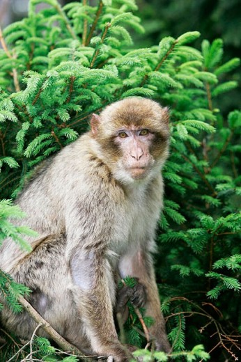 Barbary Macaque (Macaca sylvanus) : Stock Photo