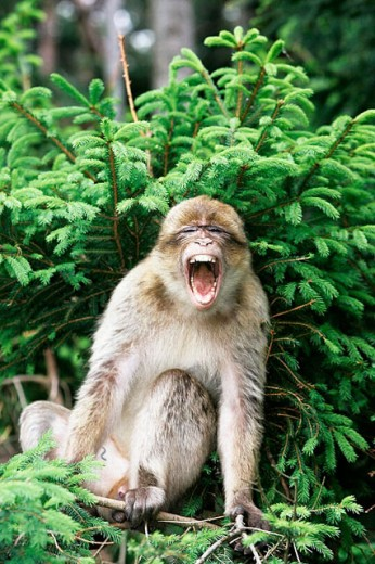Stock Photo: 1566-0207790 Barbary Macaque (Macaca sylvanus)