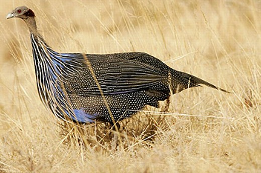 Vulturine Guineafowl (Acryllium vulturinum). Kenya : Stock Photo