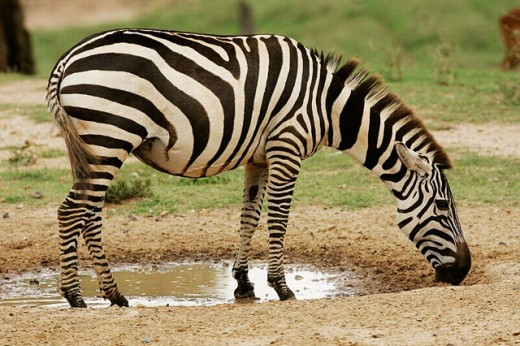 Burchell´s Zebra (Equus burchelli). Masai Mara, Kenya : Stock Photo