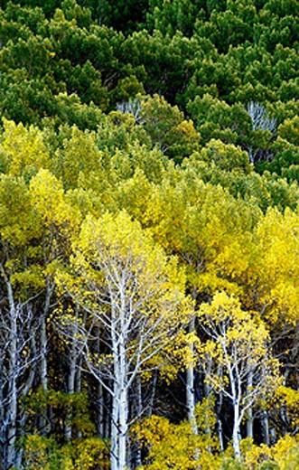 Stock Photo: 1566-0208840 Autumn aspens, California. USA