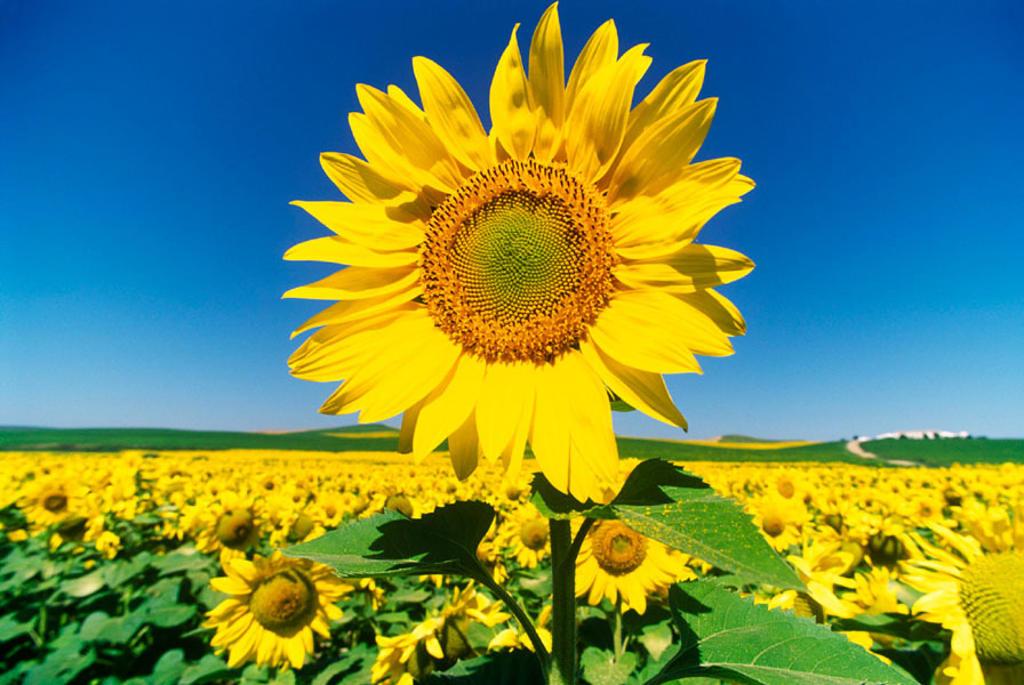 Stock Photo: 1566-0209586 Sunflowers. Córdoba. Spain
