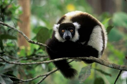 Ruffed Lemur (Varecia variegata). Madagascar : Stock Photo