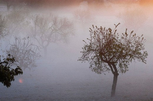 Organic farm. Almonds. Fog. Majorca. Balearic Islands. Spain : Stock Photo