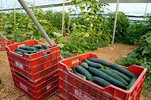 Stock Photo: 1566-0211827 Greenhouse, cucumber plantation. Porreres. Majorca. Balearic Islands. Spain