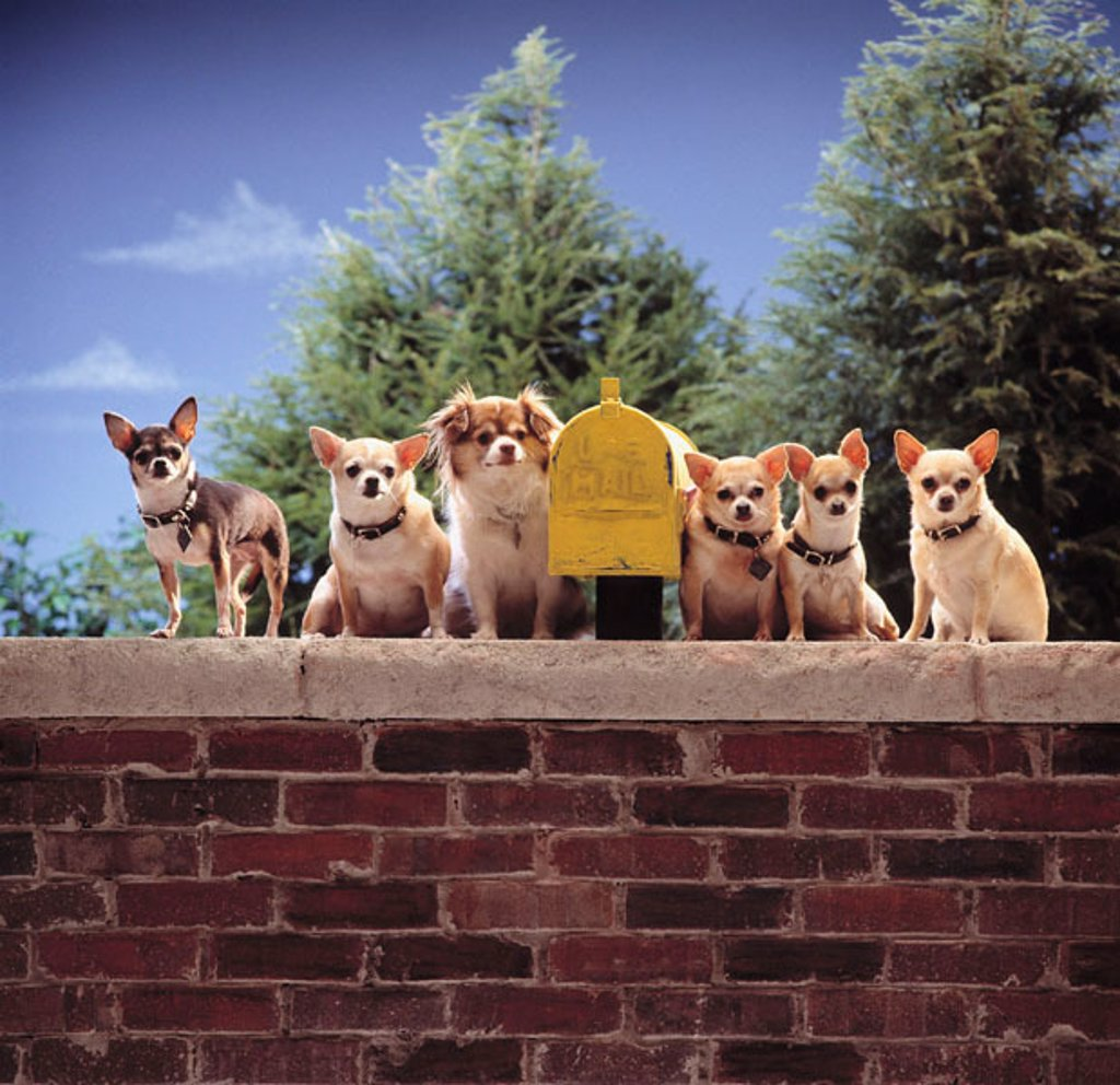 Stock Photo: 1566-0212903 Chihuahas guarding mailbox.