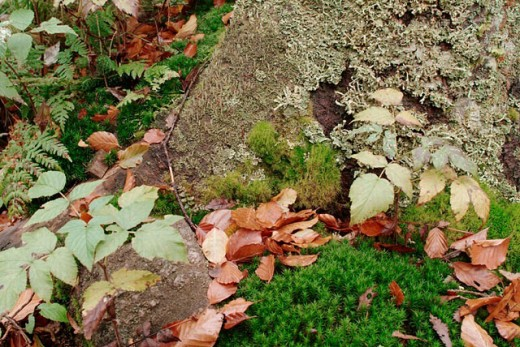 Beech leaves (Fagus sylvatica) lying on moss-covered trunk in autumn. Bavaria. Germany. : Stock Photo