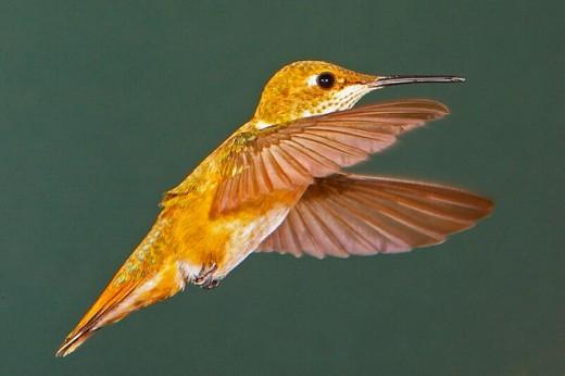 Rufous Hummingbird (Selasphorus rufus) : Stock Photo