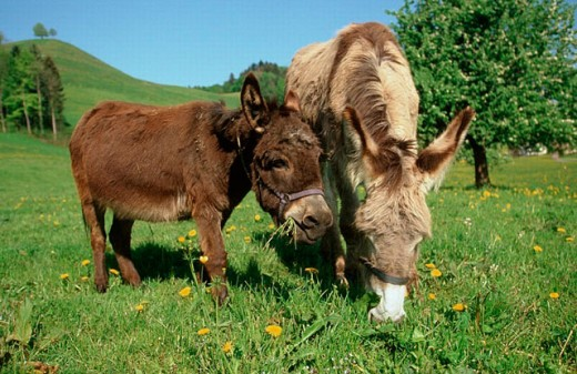 Donkeys : Stock Photo