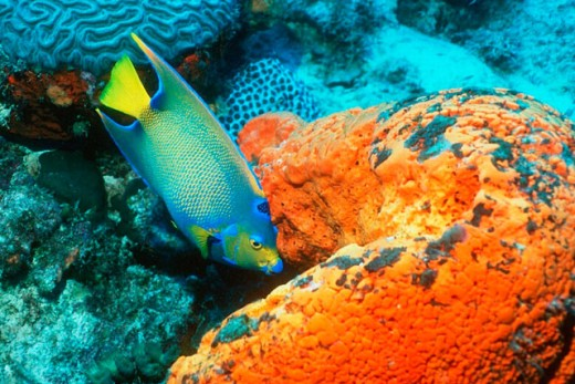 Queen Angelfish (Holacanthus ciliaris). Bonaire. Netherlands Antilles. Atlantic Ocean. Caribbean : Stock Photo