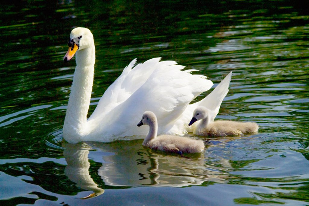 Mute Swan (Cygnus olor). Female with youngsters. Regent´s Park. London. UK : Stock Photo