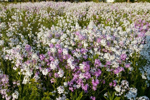 A field of purple and white wild flowers : Stock Photo