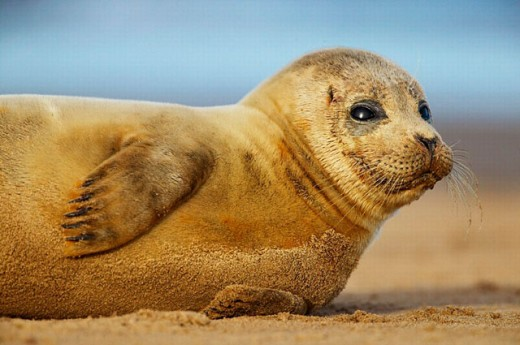 Common seal pup rolling in the sand, North Sea, UK : Stock Photo