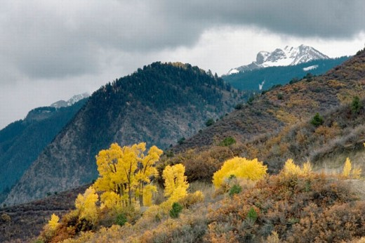 Stock Photo: 1566-0225039 Aspen trees (Populus) and Colorado Blue Spruce (Picea pungens Engelm) at mountains in fall colors. Colorado. USA
