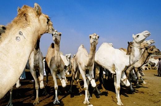Berkash camels market  near Cairo. Egypt : Stock Photo