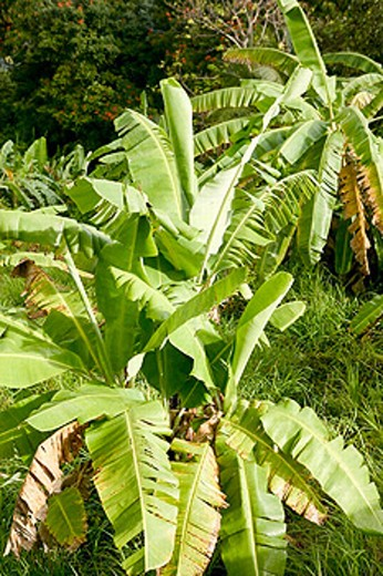 Stock Photo: 1566-0229920 Barbados, St. Joseph Parish: Tropical Vegetation
