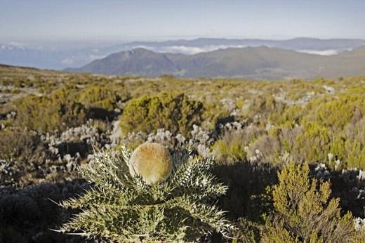 Stock Photo: 1566-0230229 Giant Thistle (Echinops ellenbeckii), Sanetti plateau, Bale mountains. Ethiopia