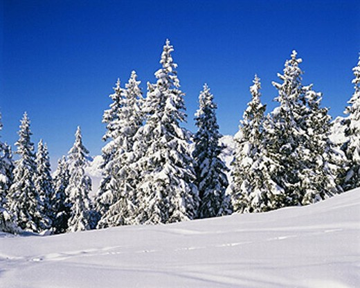 Snow covered firs. Tyrol, Austria. : Stock Photo
