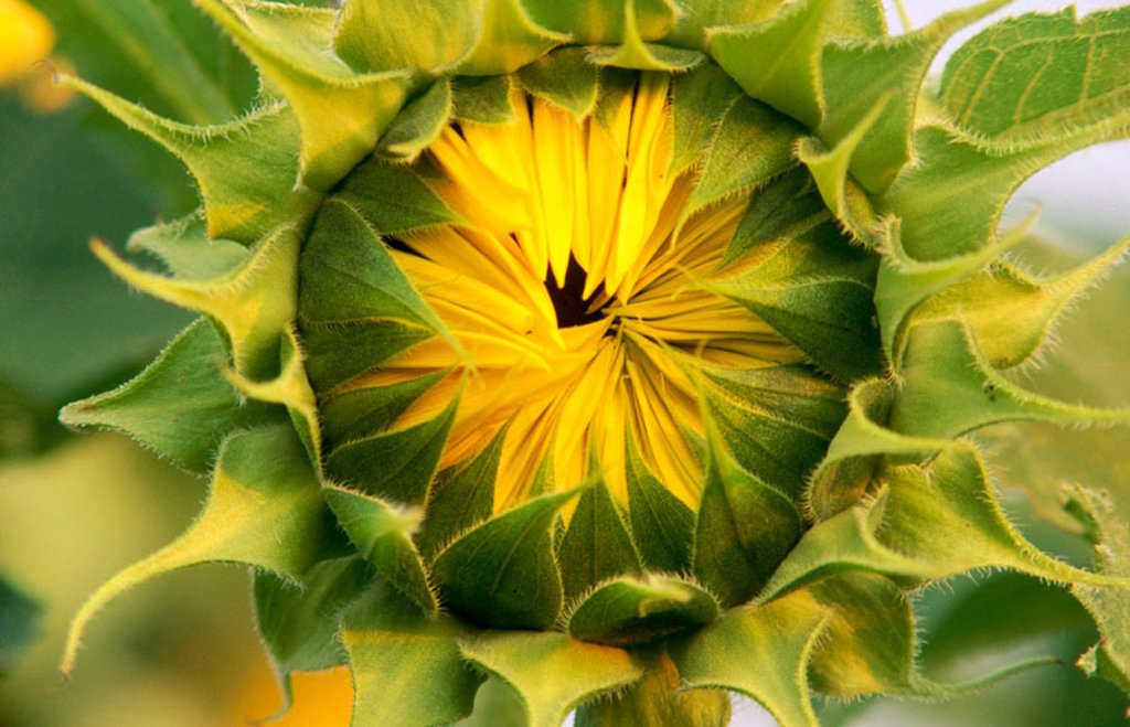 Stock Photo: 1566-0230657 Puckered sunflower.
