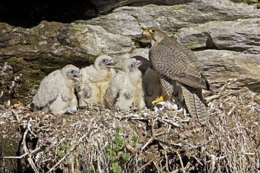 Gyr Falcon (Falco rusticolus), adult female & chicks at nest site on cliff ledge. Sweden : Stock Photo
