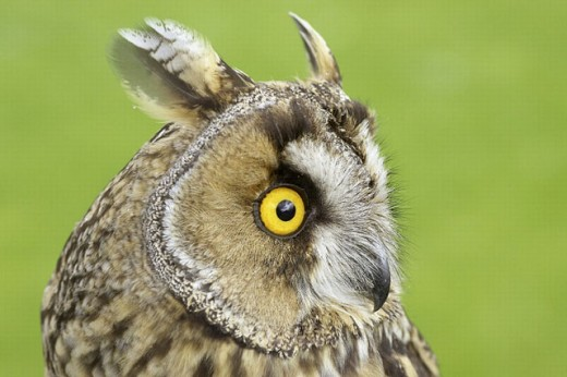 Long-eared owl (Asio otus), close-up portrait of adult. Scotland. UK. : Stock Photo