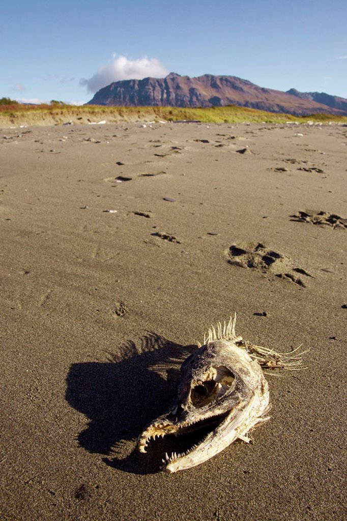 Stock Photo: 1566-0231598 Skeletal remains of salmon on beach, eaten by Grizzly Bear. Katmai National Park, Alaska, USA