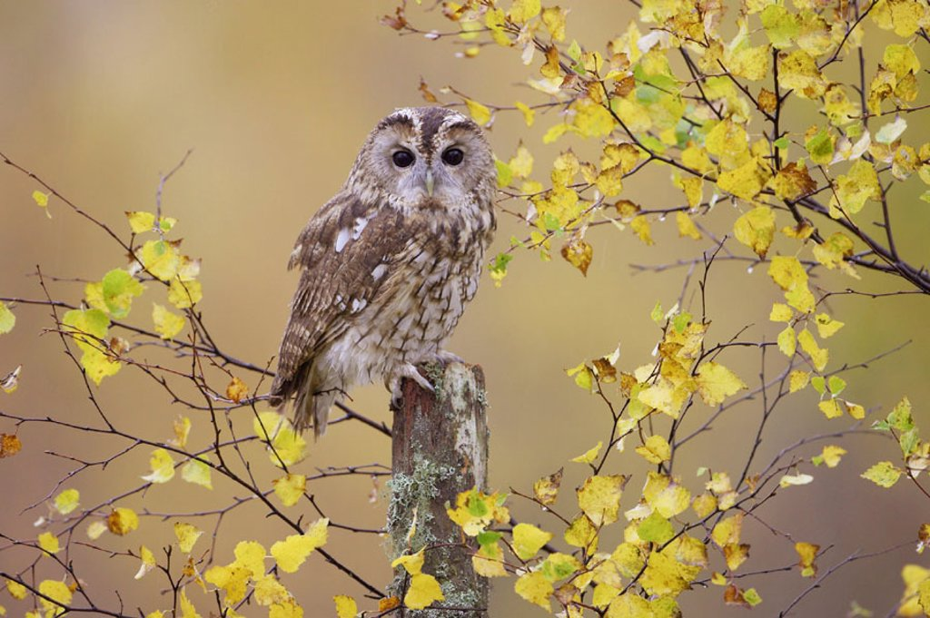 Tawny Owl (Strix aluco) adult perched in broad leaf woodland in autumn, Scotland, UK. : Stock Photo