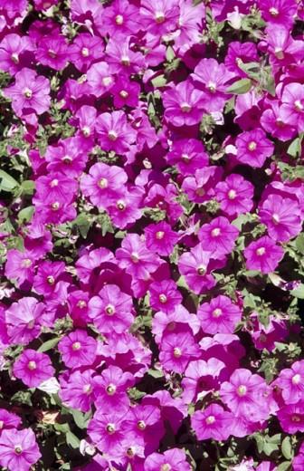 Stock Photo: 1566-0231683 Various flowers. Garden. Oregon Garden. Silverton. Oregon. USA.