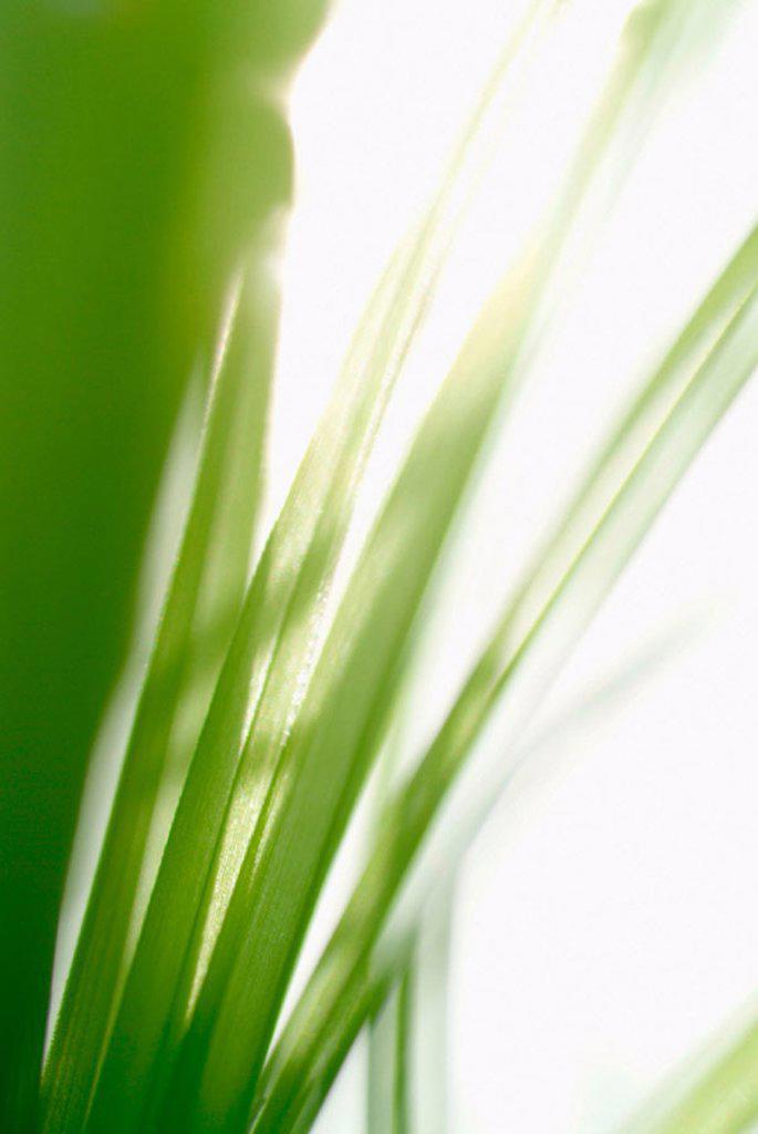 Grass (Cyperus zumula) : Stock Photo
