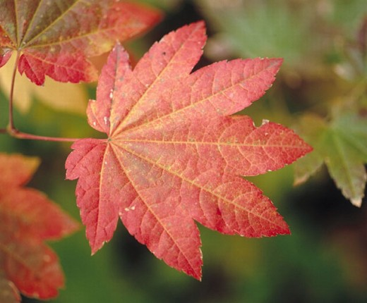Vine Maple (Acer circinatum) leaves in autumn, Mt. Hood National Forest. Hood River County, Oregon, USA : Stock Photo