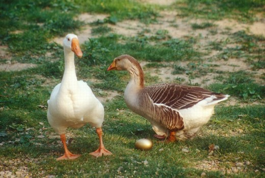 Male and female goose with gold egg. : Stock Photo
