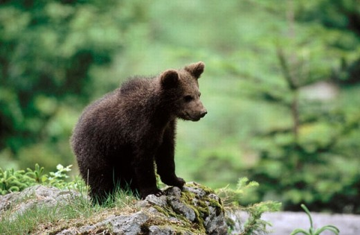 Brown Bear (Ursus arctos) : Stock Photo