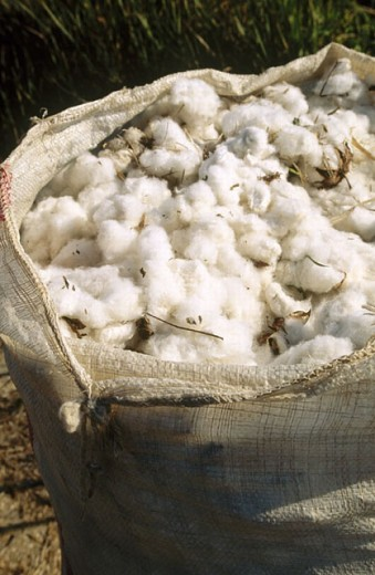 Cotton harvest. Perge region. Antalya province. Mediterranean coast. Turke : Stock Photo