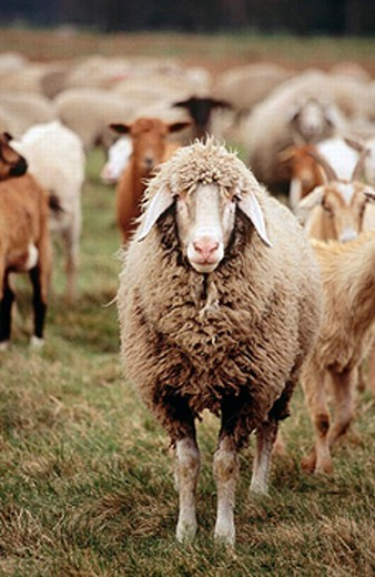 Stock Photo: 1566-0235132 Sheep