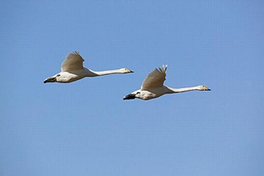 Whooper swan in flight, migrating (Cygnus cygnus). Lake Tysslinge. Närke. Sweden : Stock Photo