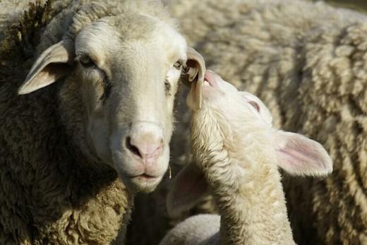 Stock Photo: 1566-0236944 Merino Sheep, lamb
