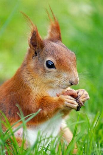 Red Squirrel (Sciurus vulgaris) eating a nut : Stock Photo