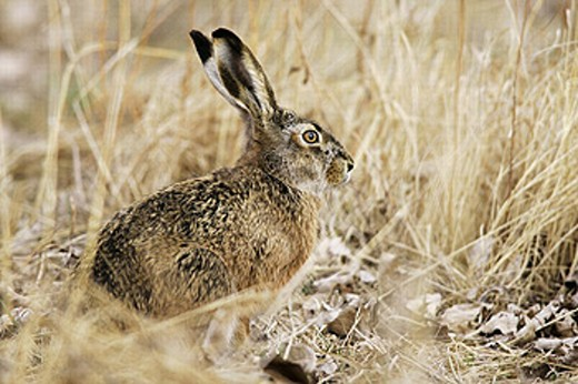 Brown Hare (Lepus europaeus). Austria : Stock Photo