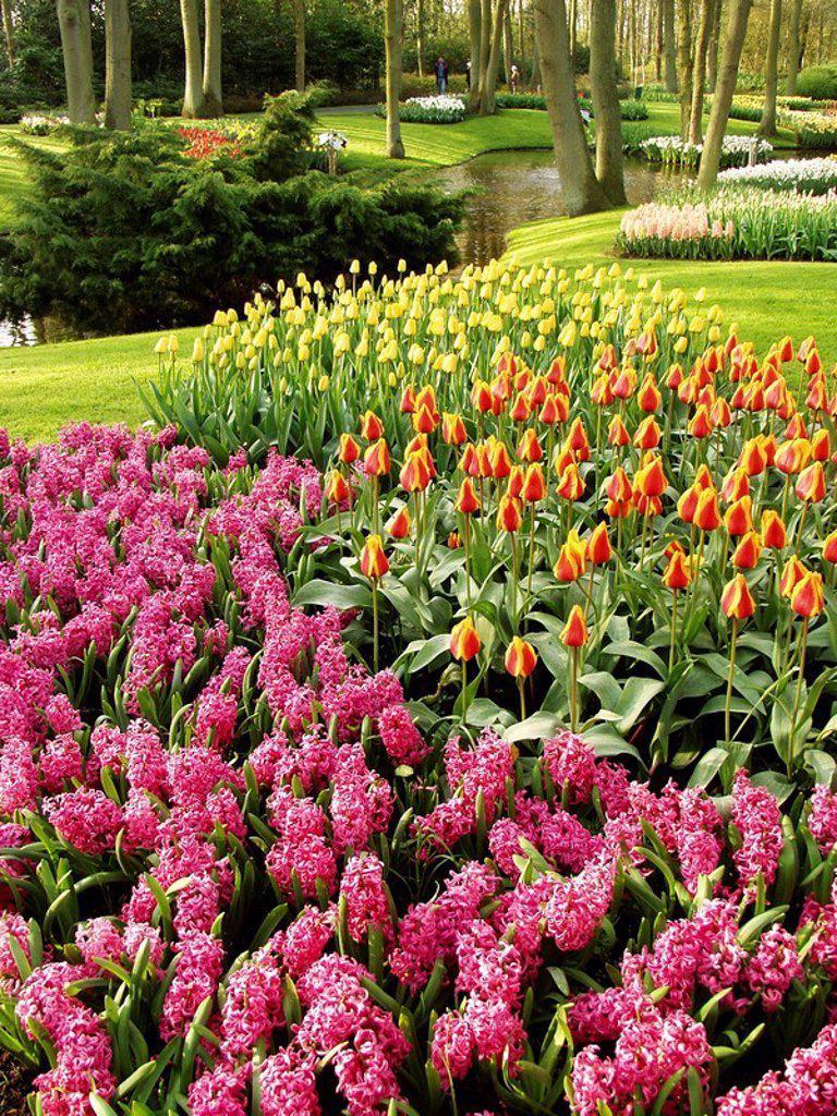 Tulips (Tulipa hybr.) and hyacinths (Hyacinthus hybr.). Keukenhof Park, Lisse (Netherlands). : Stock Photo