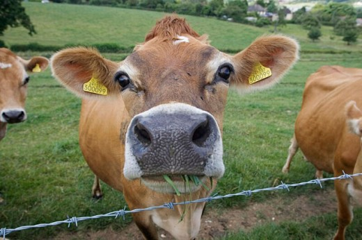 Jersey cow. Gaddesden herd. Hertfordshire. England. UK. : Stock Photo