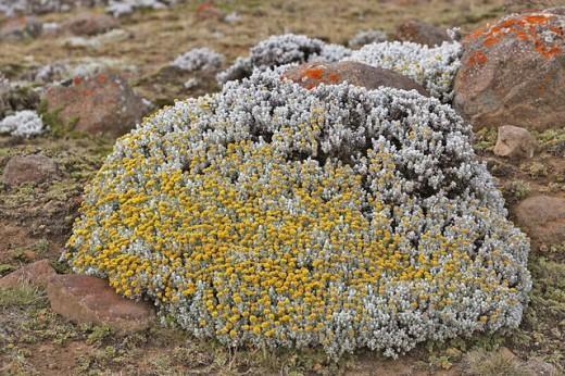 Cape Gold (Helichrysum splendidum) in the Sanetti Plateau (4000 m.) , Bale Mountains. Ethiopia : Stock Photo
