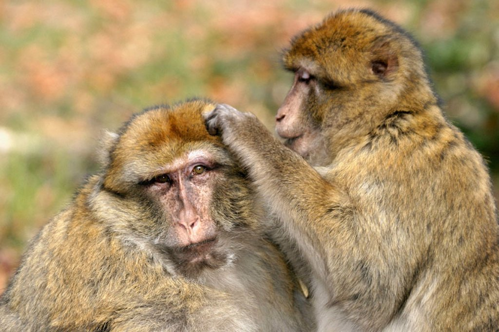 Barbary Macaque (Macaca sylvanus) grooming. Kintzheim, Alsace. France : Stock Photo