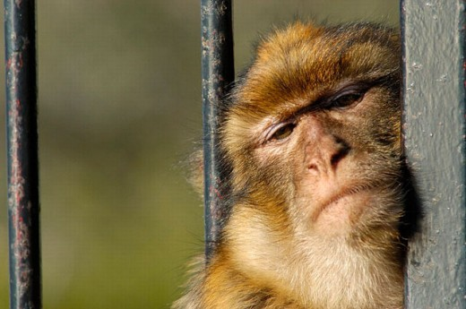 Barbary Macaque (Macaca sylvanus), young laying on staircase. Gibraltar, UK : Stock Photo
