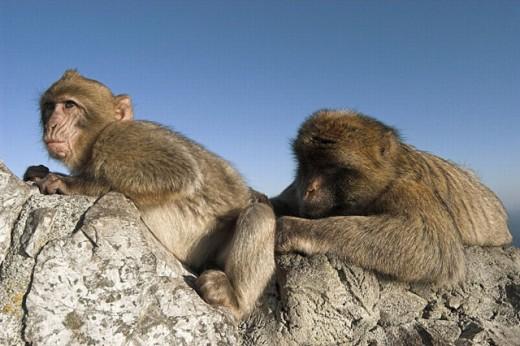 Barbary Macaque (Macaca sylvanus), adult and young. Gibraltar, UK : Stock Photo