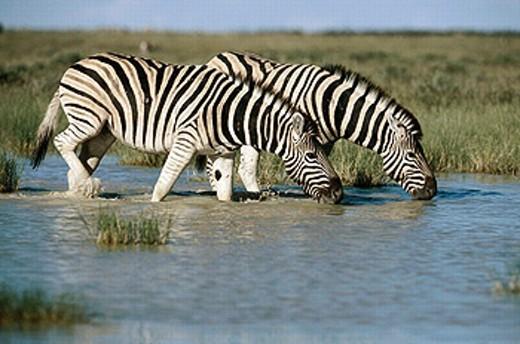 Burchell´s Zebra (Equus burchelli), Etosha National Park. Namibia : Stock Photo