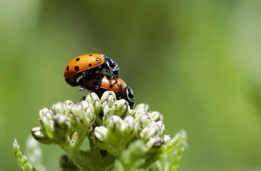 Stock Photo: 1566-0245142 Ladybird (Hippodamia convergens) mating