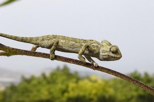 Stock Photo: 1566-0246209 Common Chamaleon (Chamaeleo chamaeleon). Málaga, Andalusia, Spain