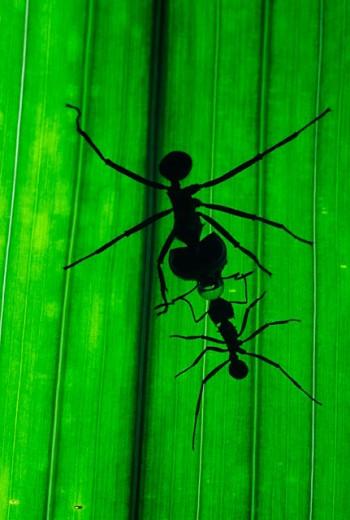 Stock Photo: 1566-030849 Leaf-cutting Ant (Acromyrmex lundi)