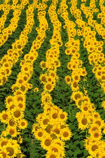 Cultivated sunflowers (Helianthus annuus)in the Campiña Cordobesa, Cordoba province, Andalucía, Spain : Stock Photo