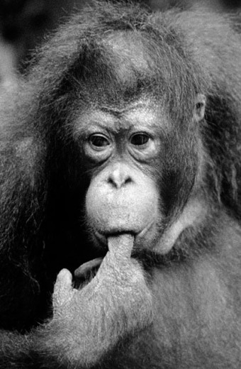 Orang-Utan (Pongo pygmaeus) : Stock Photo